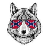 Les verres de port de Wolf Dog avec le drapeau national des états de l'Amérique confédérés Etats-Unis marquent l'animal sauvage e Images libres de droits