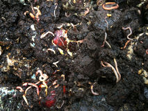 Les vers mangent garbish en compost photographie stock