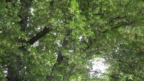 Les vieilles branches d'arbre de tilleul avec des fleurs de fleurs se relèvent l'inclinaison de vent 4K banque de vidéos