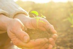 Les vieilles mains rurales tenant la jeune usine verte rayonne au soleil Images stock