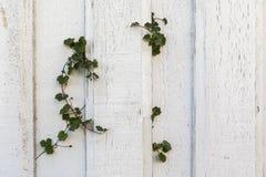 Les vieilles planches en bois blanches sur un vieux mur de maison, un certain lierre de vert plante l'élevage par le mur Image libre de droits