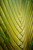 Les vies d'arbre de fan de banane en Thaïlande Photo stock