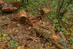 Les vieux rondins en bois putréfiés bruns se trouvent au sol dans la forêt Images libres de droits