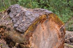 Les vieux rondins ont abattu de grands arbres, oubliés dans les bois Photographie stock