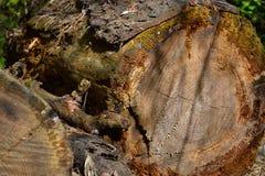 Les vieux rondins ont abattu de grands arbres, oubliés dans les bois Photos libres de droits