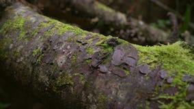 Les vieux troncs d'arbre délabrés avec des moos se trouvent sur le plancher de forêt clips vidéos