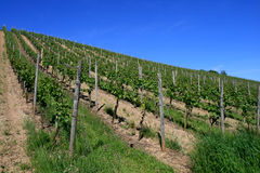 Les vignes Images stock