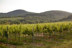 Les vignobles aménagent en parc les feuilles colorées par vert à Vienne, Autriche de la vigne allumées par le coucher de soleil d photo stock