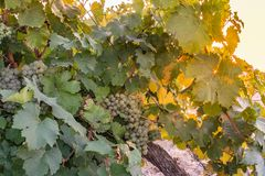 Les vignobles dans le secteur de la date de Nieva (Ségovie, Espagne) du 12ème siècle Vins blancs des raisins les plus de haute qu photographie stock