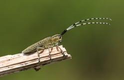 Les villosoviridescens D'or-fleuris d'un Agapanthia de scarabée de Grey Longhorn étaient perché sur une usine Photos stock