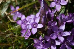 Les violettes hachent annoncer le ressort image stock