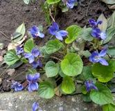Les violettes se ferment sur le fond naturel - papilionacea d'alto photos libres de droits
