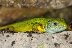 Les viridis de Lacerta prend un bain de soleil sur la roche photographie stock