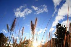 Les viridis de sétaire sous le ciel bleu en automne Photographie stock libre de droits