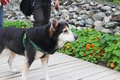Les visiteurs marchent le chien Photo stock