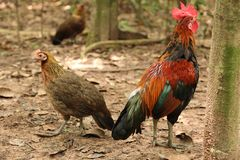 Les volailles de jungle images libres de droits