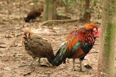 Les volailles de jungle image libre de droits