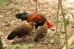 Les volailles de jungle photographie stock
