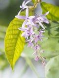 Les volubilis de Petrea fleurit, les fleurs pourpres sont des groupes de petites fleurs image stock