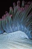 Les vrilles bleues et pourpres d'une actinie Photographie stock libre de droits