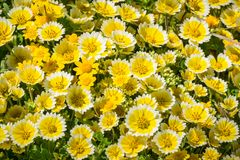 Les wildflowers de platyglossa de Layia ont généralement appelé le tidytips côtier, fleurissant sur la côte de l'océan pacifique, photographie stock libre de droits