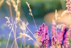 Les Wildflowers et l'herbe dans le coucher du soleil rayonne pour le fond Photographie stock