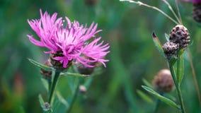 Les wildflowers roses ont balancé légèrement dans le vent léger d'été dans le pré Plan rapproch? de fleur banque de vidéos