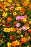 Les Wildflowers roses Surroun ded par jaune et l'orange Photo libre de droits