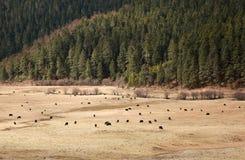Yaks dans la terre d'herbe Photographie stock