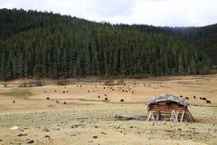 Yaks dans la terre d'herbe Images libres de droits