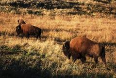 les yaks en parc de yellowstone Photos stock