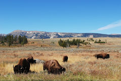 les yaks en parc de yellowstone Photos libres de droits