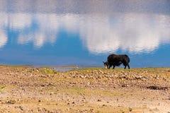 Les yaks frôlent par le lac images libres de droits