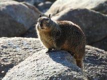 Les yeux de clignotement ont fermé l'écureuil moulu de la Californie Images stock