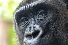 Les yeux de gorille se ferment vers le haut du détail photographie stock