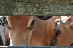 Les yeux de la vache Images stock