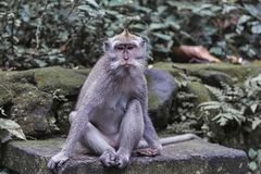 Les yeux de singe de Macaque ont un epression de la tristesse photographie stock