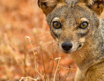Les yeux du chacal à dos noir Image libre de droits