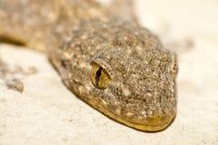 Les yeux du gecko photographie stock libre de droits