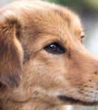 Les yeux du ` s de chien Macro Photographie stock