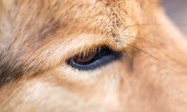 Les yeux du ` s de chien Macro Images stock