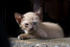 Les yeux endoloris de chaton de Brown dans la faible luminosité se concentrent sur les yeux images libres de droits