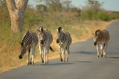 Les zèbres de Burchell (burchellii d'Equus) Photos libres de droits