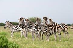 Les zèbres de Burchell de troupeau Photo libre de droits