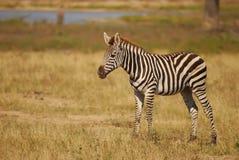 Les zèbres de jeune Burchell (burchellii d'Equus) Photo stock
