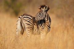 Les zèbres de jeune Burchell (burchellii d'Equus) Photos libres de droits