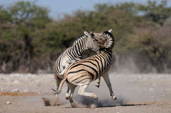 Les zèbres du ` s de Burchell sont combat, nationalpark d'etosha, Namibie, burchelli d'equus Image libre de droits