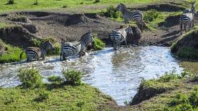 Les zèbres en parc national de Mara de masai recherchent un trou d'eau Photographie stock libre de droits