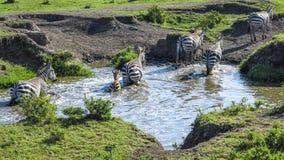Les zèbres en parc national de Mara de masai recherchent un trou d'eau Image stock