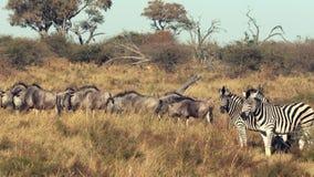 Les zèbres et le Wildebeasts sont marche vue à travers les plaines banque de vidéos